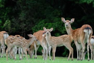 Poster de jardin Cerf fallow deer and fawn
