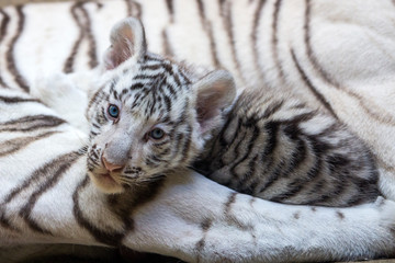White tiger cub in zoological garden