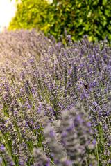 Sunshine over a violet lavender field