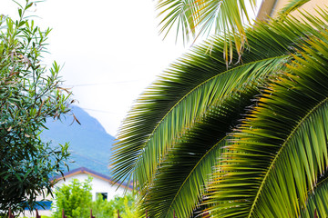 Wall Mural - Green palm tree and mountain in background.