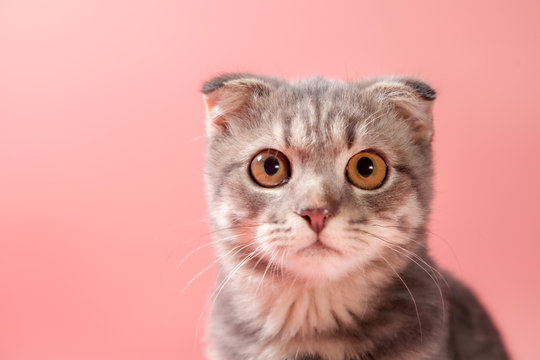 Scottish fold cat breed, age 3 months. Little scottish fold Cat cute ginger kitten in the fluffy pet is feeling happy and cat lovely comfortable . love to animals pet concept .