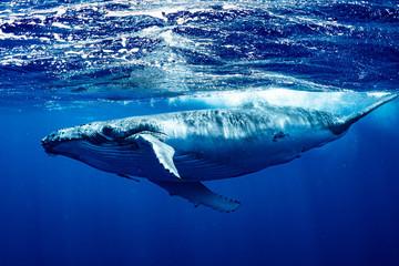 Photo sur Aluminium Dauphin ザトウクジラ 座頭鯨 Humpback whale