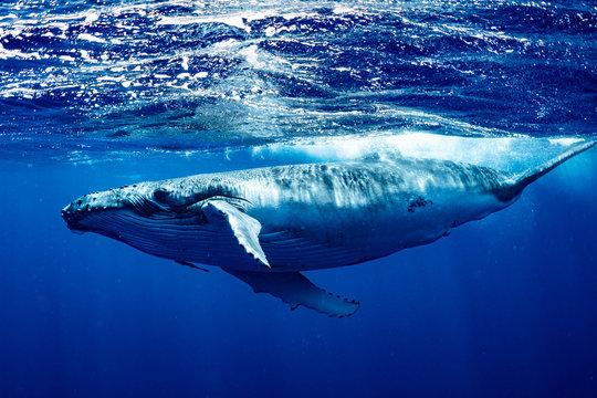ザトウクジラ 座頭鯨 Humpback whale