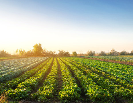 Beet plantations in the sunset light on the field. Growing organic vegetables. Eco-friendly products. Agriculture and farming. Plantation cultivation. Selective focus