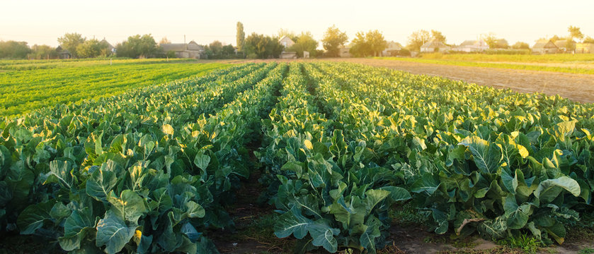 Broccoli plantations in the sunset light on the field. Growing organic vegetables. Eco-friendly products. Agriculture and farming. Plantation cultivation. Cauliflower. Selective focus
