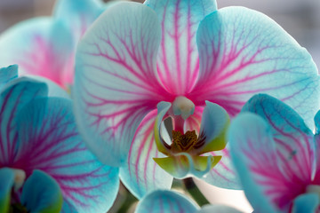 View of the blue orchid