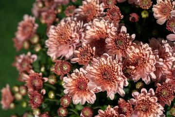 Beautiful chrysanthemum blooming in the garden