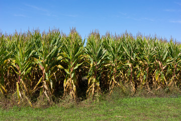 Corn stalk rows with blue sky above