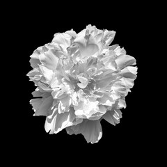 isolated single bright white peony blossom,black background,fine art still life floral monochrome macro,bloom with filigree detailed texture