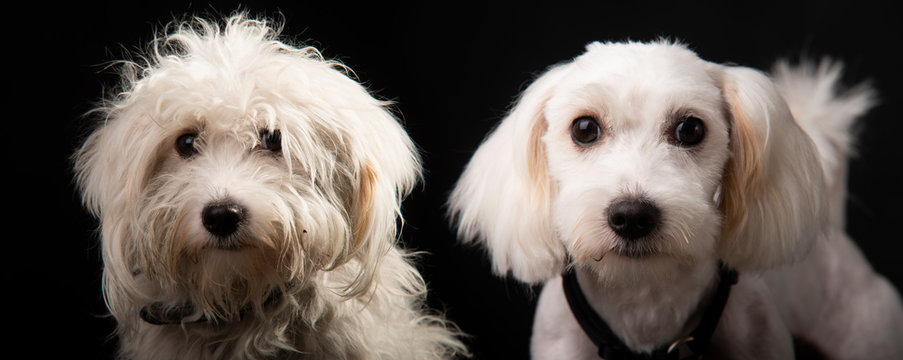 Collage of the same maltese dog before and after grooming rescue