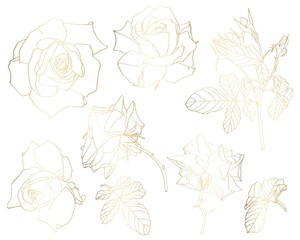 Sketch Floral Botany Collection. Golden roses flower, leaves and buds drawings. Line art on white backgrounds. Hand Drawn Botanical Illustrations.