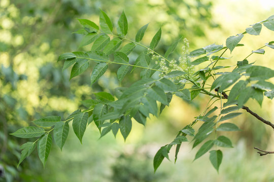 Ailanthus altissima is an invasive species of Europe. The flowers of tree of heaven, Ailanthus altissima. Branch with leaves and flowers of Ailanthus altissima