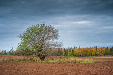Old apple tree in a plowed field with a treeline of autumn leaves.