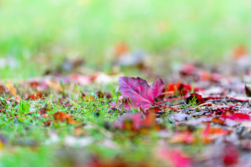 Red maple leaves on the ground with shallow depth of field...