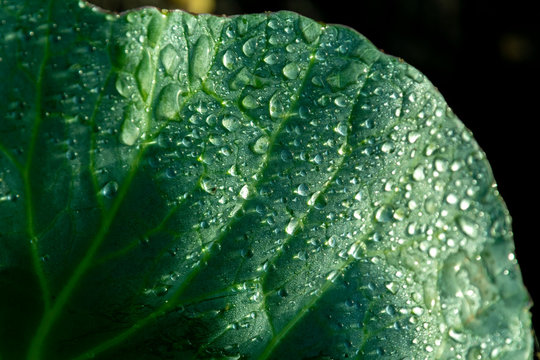 natural dew on green leaves of cabbage, macro