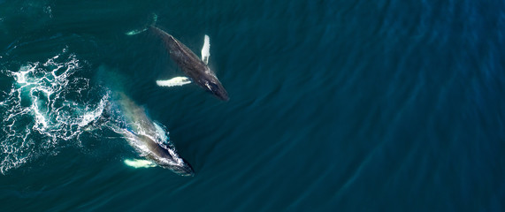 Aerial view of huge humpback whale, Iceland, Europe.