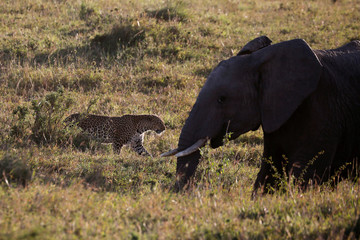 A leopard walks past an elephant in the Maasai Mara National Reserve