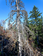 Fototapete - dried spruce in the forest covered with lichen