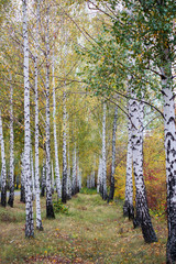 Poster de jardin Bosquet de bouleaux beautiful birch grove in the rays of the setting autumn sun