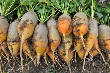 In the field on the pile are fodder beets