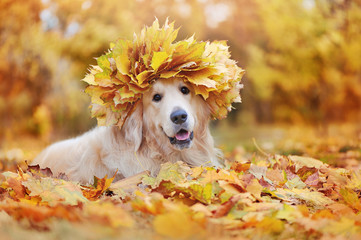 Beautiful dog wearing maple tree leafs wreath