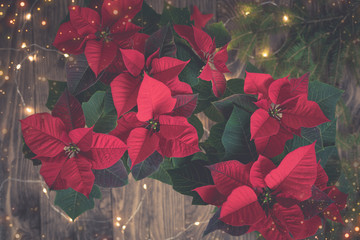Christmas mystic Red Poinsettia potted isolated on wooden background with sparkling garland, toned