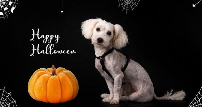 happy Halloween dog with pumpkins