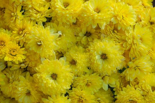 Bright Yellow Mums