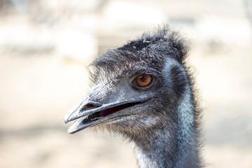 Emu in der Nahaufnahme