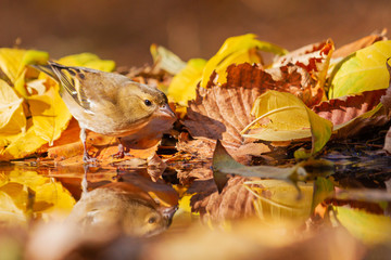 chaffinch drinks water in a beautiful autumn puddle