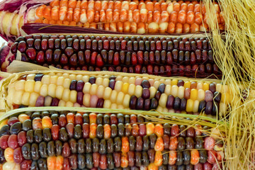 growing and presentation of organic colored corn