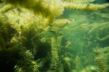 pike under water image, baby pike in a lake under water, underwater wildlife photography