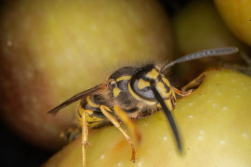 Printed roller blinds Macro photography super macro photography of wasps on apples, Wesp eats some apple macro photography