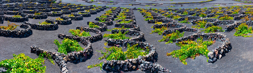 Fotobehang Canarische Eilanden La Geria vineyard on black volcanic soil.Scenic landscape with volcanic vineyards. Lanzarote. Canary Islands. Spain