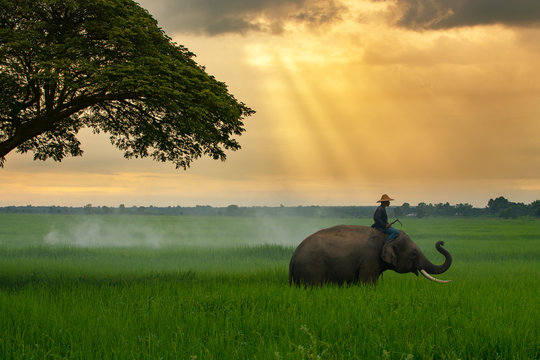 Thailand, the mahout, and elephant in the green rice field during the sunrise landscape view