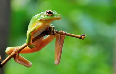 frog,tree frog,amphibian