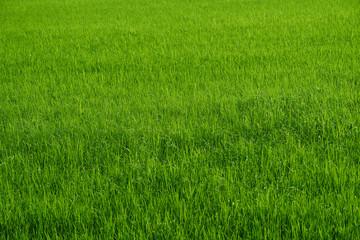 Rice farm in green harvest season in country side Fototapete