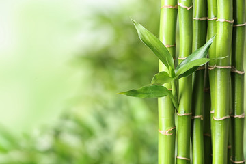 Poster Bamboo Green bamboo stems on blurred background. Space for text