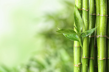 Poster de jardin Bambou Green bamboo stems on blurred background. Space for text