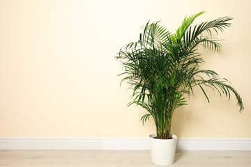 Tropical plant with lush leaves on floor near light yellow wall. Space for text