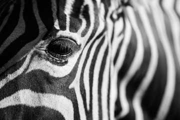Photo sur Toile Zebra close up of a zebra