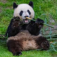 Tuinposter Panda Giant panda, bear panda eating bamboo sitting in the grass, funny face