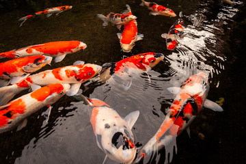 Decorative Japanese Koi Carp Fish