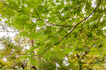 Japanese Maple Leaves in early Autumn