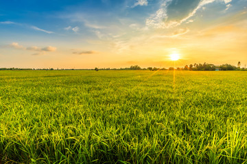 Poster Cultuur Beautiful environment landscape of green field cornfield or corn in Asia country agriculture harvest with sunset sky background.