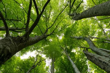 Fotobehang Bomen Hayedo (bosque) en primavera