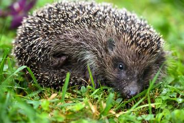 Hedgehog (Erinaceus europaeus). Cute hedgehog face with beady eyes