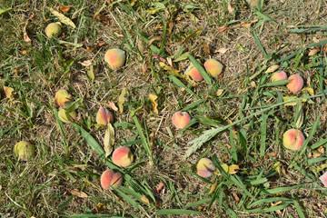 Melocotones maduros caídos del árbol, sobre la hierba del jardín.