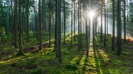 Spruce Tree Forest, Sunbeams through Fog illuminating Moss Covered Forest Floor, Creating a Mystical Atmosphere