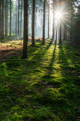 Obraz Sunbeams through Foggy Spruce Tree Forest, Moss Covered Forest Floor, Mystical Atmosphere - fototapety do salonu
